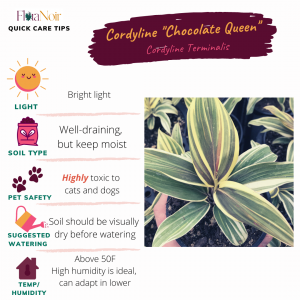 Cordyline Chocolate Queen - Care Card