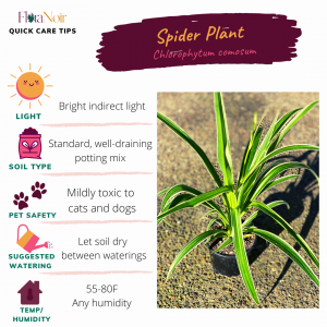 Spider Plant - Care Card