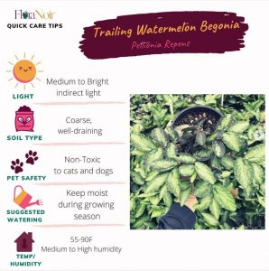 Trailing Watermelon Begonia - Care Card