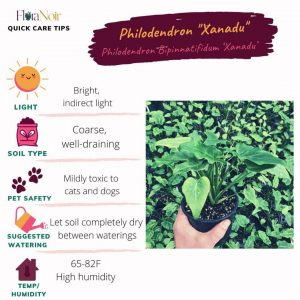 Philodendron Xanadu - Care Card